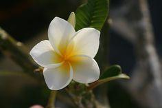 hawaiian flowers (Possible Shoulder Tattoo)