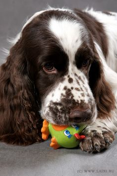 English Springer.    What a beautiful face...  Reminds me of my Clementine! ♥