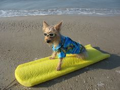 Hey...I'm so cool! Tucker the surfing Yorkie...LOL  Pic by PAm WArd