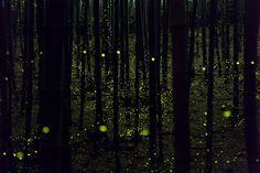 Surreal Long Exposure Photos of Glowing Fireflies in Japan by photographer Yume Cyan