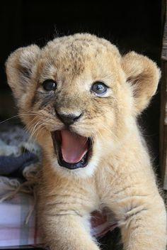 .Löwenbaby