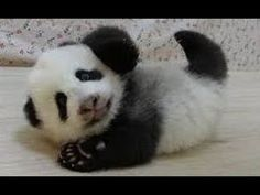 お母さんに甘える赤ちゃんパンダ/Baby panda amenable to mother - YouTube