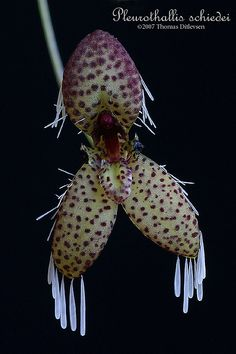 Pleurothallis schiedei This cool-growing miniature sized species occurs in Mexico, Guatemala and El Salvador. It can be found at altitudes of Flower size