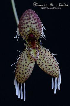 Pleurothallis schiedei