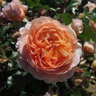Sweet Jessica Wekneflocjuc Floribunda Roses Fragrant Roses