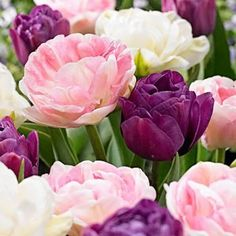 Tulip Bulbs early bloom Perennial Bulbs for Garden Planting Beautiful Flower Tulips Double Peony Blend Set of 15 bulbs