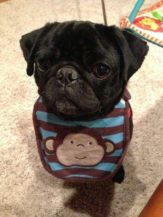 Pug baby!
