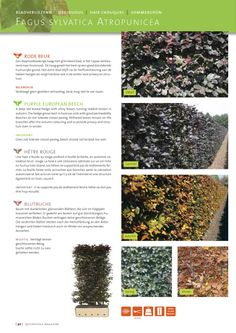 50 Pièces haies Plante blutbuche Fagus sylvatica atropunicea en pot haie 40