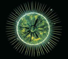 Phytoplancton marin : diatomée centrale (taille : 200 microns) du genre Gossleriella.