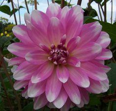 Dahlia 'Pink Gingham'