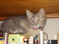 """Meet Millie! """"She is a very outgoing kitten that loves to play with the other kittens she lives with."""" Check out her page for adoption information!"""