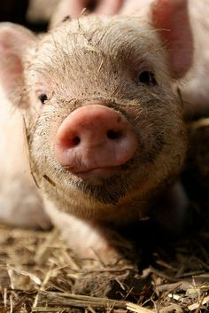 dirty piglet, I want a piggy one day :) Cute Baby Animals, Farm Animals, Wild Animals, Teacup Pigs, Cute Piggies, Stop Animal Cruelty, Tier Fotos, Mundo Animal, Vegan Animals