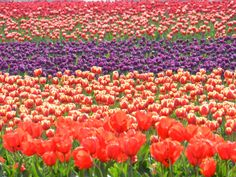 Tulips for as far as the eye can see