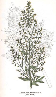 Kuva 7. Artemisia absinthium (Mali, Malört). Artemisia Absinthium, Natural Health, Plant Leaves, Ink, Tattoos, Create, Nature, Plants, Hair