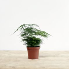 A feathery and ethereal house plant that can tolerate a variety of conditions and is often chosen for darker corners.Ideally though it wants good light or partial shade but no direct sunlight and it needs the compost to be kept quite evenly moist, so water freely Spring - Autumn and then a little m