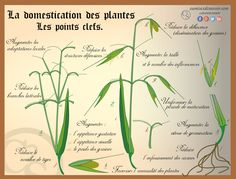 La domestication des végétaux : http://www.curieuxdesavoir.com/103-d-ou-viennent-les-vegetau.html