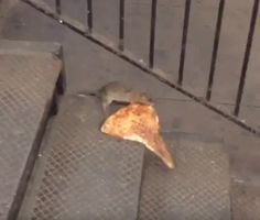 A rat carrying pizza in New York is on its way to being as popular as Taylor Swift. You just know Ryan Adams wants in on this.