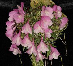 Dendrobium agathodaemonis,  by Steve Beckendorf, via Flickr