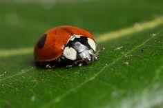 2-spot ladybird #1