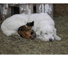 Great Pyrenees and kittty
