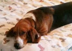 Beau is an adoptable Basset Hound Dog in Carrollton, TX. You can fill out an adoption application online on our official website. Fashion Sense: These beautiful copper eyes have a story to tell. Beau...