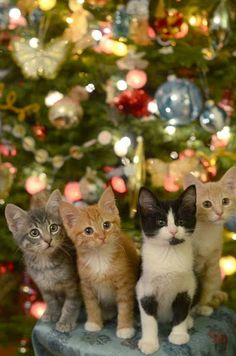 Family Christmas pic of four cute kittens actually posing for a picture. How this got done is anyones guess. LOL haha! Cats are so adorable and precious like this. ~Me  #cats #cute #funny #catlovers