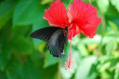 Bloem en vlinder  Maleisië