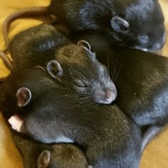 Smol ears little whiskers teeny peepers #aww #cute #rat #cuterats #ratsofpinterest #cuddle #fluffy #animals #pets #bestfriend #ittssofluffy #boopthesnoot