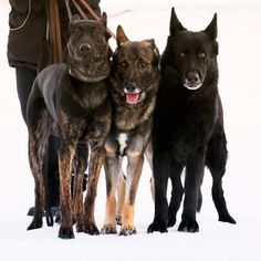 ❤️👈DSD 8 months. ☝️GSD 5 years. 👉GSD 9 years. _____________________________________________________ #dutchshepherd #germanshepherd #dutchshepherd   From #Sweden @gsd_hh_sweden Dutch Shepherd Dog, 8 Months, Adorable Animals, I Love Dogs, 5 Years, Sweden, Dogs And Puppies, Labrador Retriever, Novels