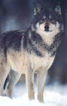 <3 HIM Breath-taking Wolf !!!!