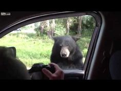 Bear Opens Car Door - Neatorama