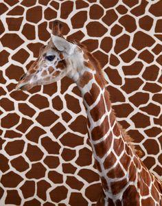achtergrond - voorgrond: de voorgrond is de giraffe, je ziet dat de giraffe de achtergrond overlapt door de schaduwen op de giraffe zelf.