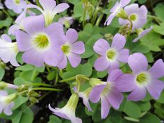 Oxalis violacea (Violet Wood Sorrel) a volunteer in nearly every container we have! Wild Flowers Uk, Beautiful Flowers, Sorrel Plant, Wood Sorrel, Prairie Garden, Moon Nursery, British Flowers, Cottage Garden Plants, Plant Images