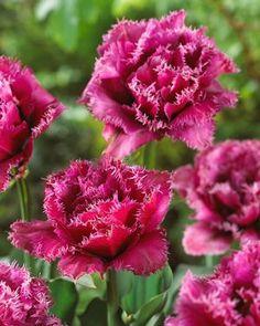 fringed tulips