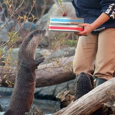 Otter waits breathlessly for a treat - March 14, 2016