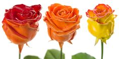 Flower Export News Item Wax Roses by Primera Autumn