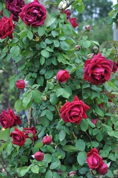 Crimson Glory Climbing -Perpetual flowering, strong scent, ok resistance to disease.