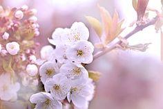 Branch, Cherry, Flowers, White, Spring