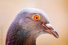 Close enough to get a shot from canon macro 100mm lens.  #macro_photography  #macrolens #macro #pigeon #macroshotofpigeon