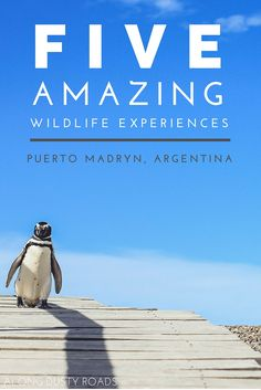 Puerto Madryn in northern Patagonia has so much to offer wildlife lover travelling to Argentina. Here's five amazing experiences you can have on your net trip there!