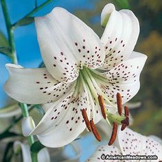 White Tiger Lily Bulbs White, Lilium, Tiger Lily