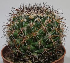 Coryphantha sp. Cactus Gallery