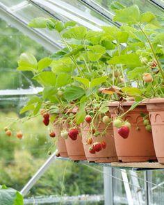 """1,559 Likes, 16 Comments - Photographer Mette Krull (@krullskrukker) on Instagram: """"Strawberries in the greenhouse  #inspiration #gardenlove #garden #flowers #strawberry…"""""""