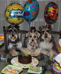 Puma, Molly & Toby: Yummy Birthday Cake for Dogs - I found this recipe on a website and changed it to incorporate ingredients that are NOT harmful to Mini Schnauzers . Miniature Schnauzer Puppies, Schnauzer Puppy, Schnauzers, Black Schnauzer, Dog Birthday, Birthday Cake, Dog Cakes, Puppy Party, Pet Treats