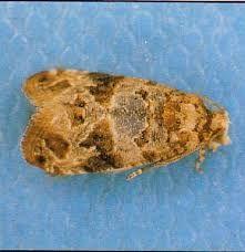 Lobesia botrana (Ευδεμίδα της αμπέλου)