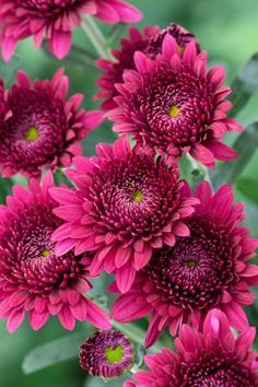 [chrysanthemum 'Smokey Purple', available from Sarah Raven]    Product Code: 190129---Thinking I might be able to grown my own?