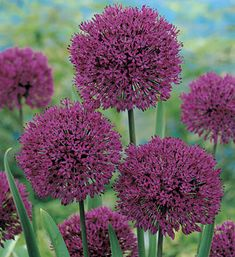 Allium aflatunense 'Purple Sensation'. Perhaps one of the most impressive of all the alliums, this cultivar of allium aflatunense produces perfect spheres of purple-blue flowers, often 5-6 inches across, which rise on imposing stalks almost 3 feet tall.