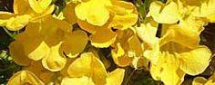 Cuidados de la planta Macfadyena unguis-cati o Uña de gato.