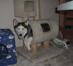 Then we have this husky who still hasn't learned the rules of the cat tree. | 39 Dogs Who Will Make You Question Evolution