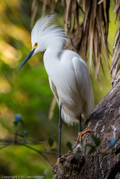 ☀Snowy Egret by Bill Swindaman on Flickr*